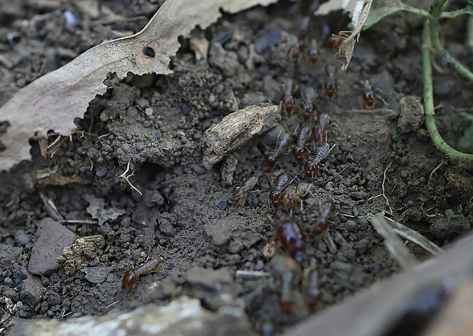Hunting for protein-rich termite queens in Vietnam - 2