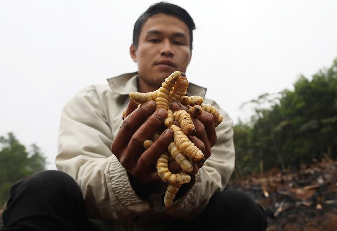 When a sugarcane harvest ends, the borer hunt begins - 7