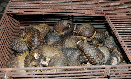 Nine traffickers held in Vietnam with 215 pangolins