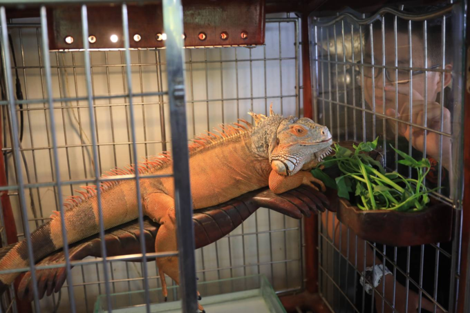 When Saigon youngsters bring out their pet reptiles - 4