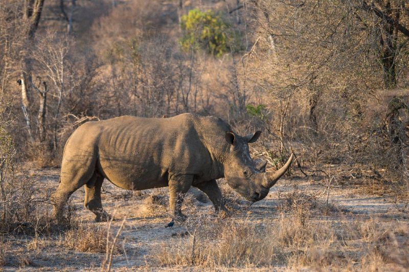 Sharp drop in S. Africa rhinos killed by poachers