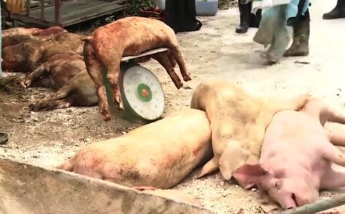 Incurable African swine fever spreads to northern Vietnam port city