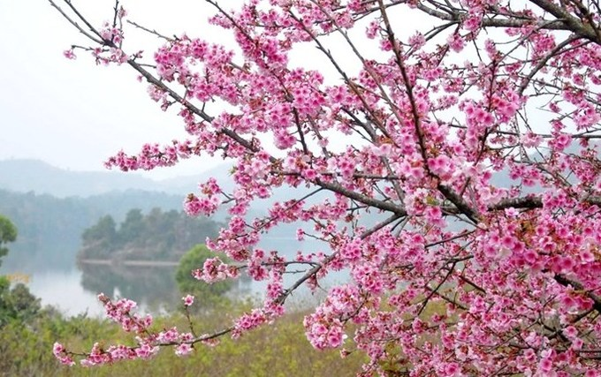 Cherry blossoms from Japan bloom in northern Vietnam