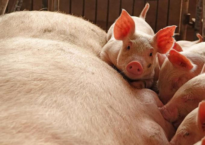 Vietnamese pork banned in several countries due to swine fever fears