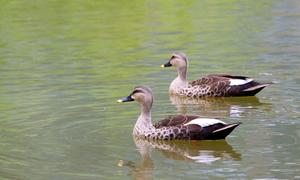Vietnamese duck killer awaits prosecution in Japan
