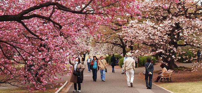 Japanese cherry blossoms to cast pink glow on Hanoi