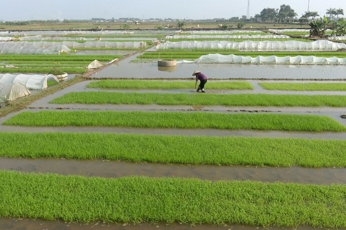 Asia Rice: India, Vietnam attract fresh buying; supply weighs on Thai market