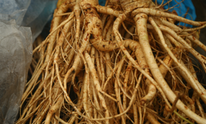 Where ginseng keeps ethnic minority people in rude financial health