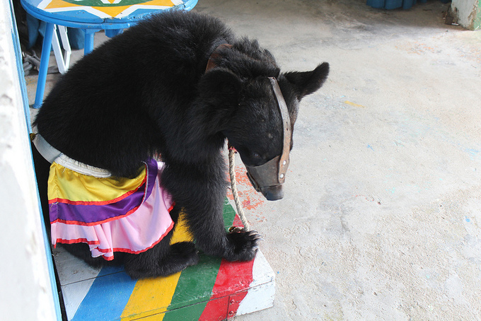 Vietnam corporation accused of 'ruthless exploitation' of bears for entertainment