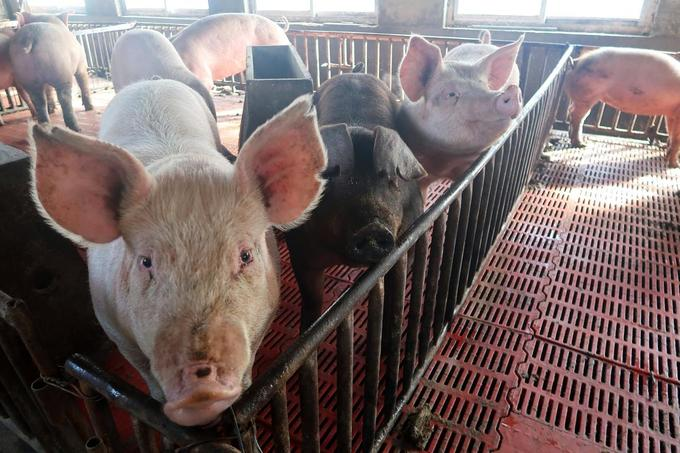 China bans imports of Vietnamese pigs to prevent African swine fever
