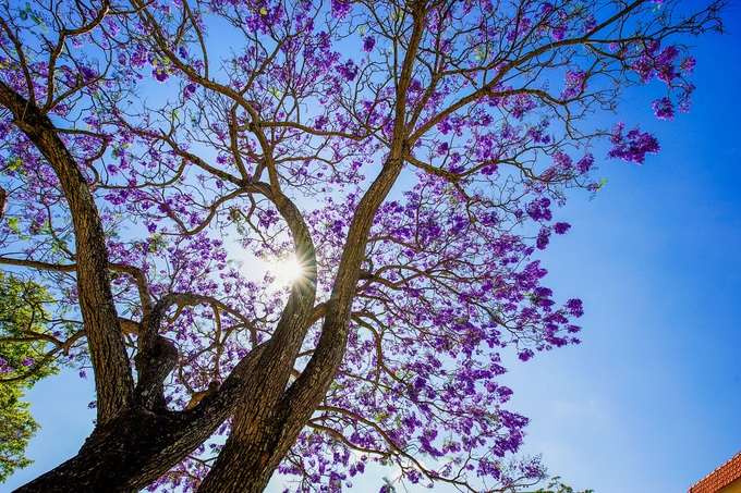 Jacaranda: Vietnams pretties bloom dance in Da Lats spring breezes (unedited) - 1