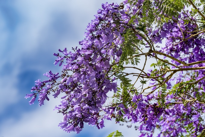 Jacaranda: Vietnams pretties bloom dance in Da Lats spring breezes (unedited) - 3