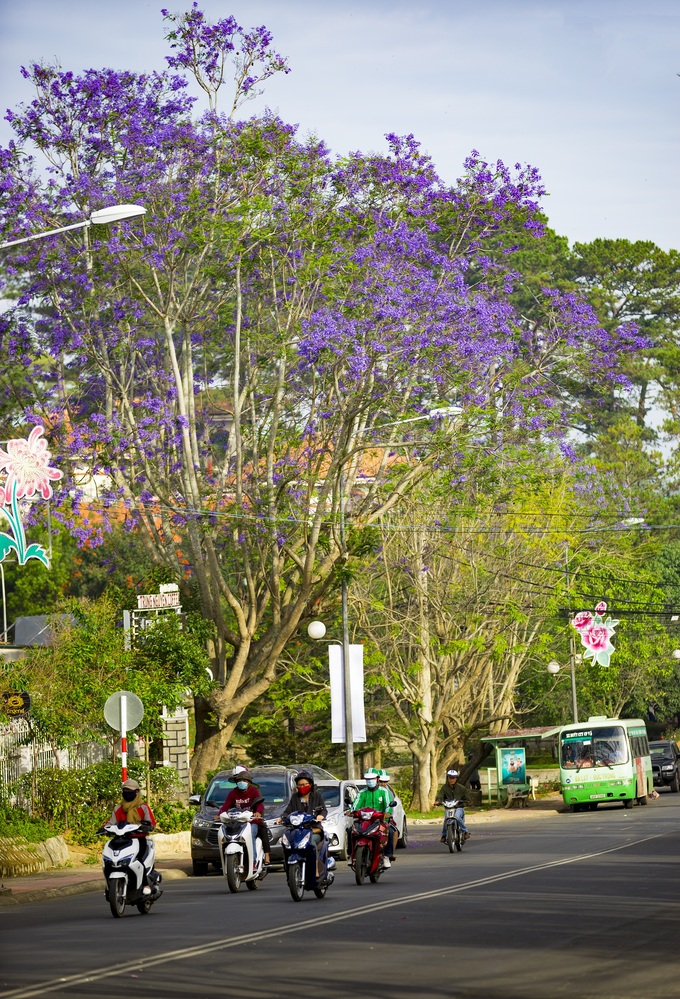 Jacaranda: Vietnams pretties bloom dance in Da Lats spring breezes (unedited) - 7