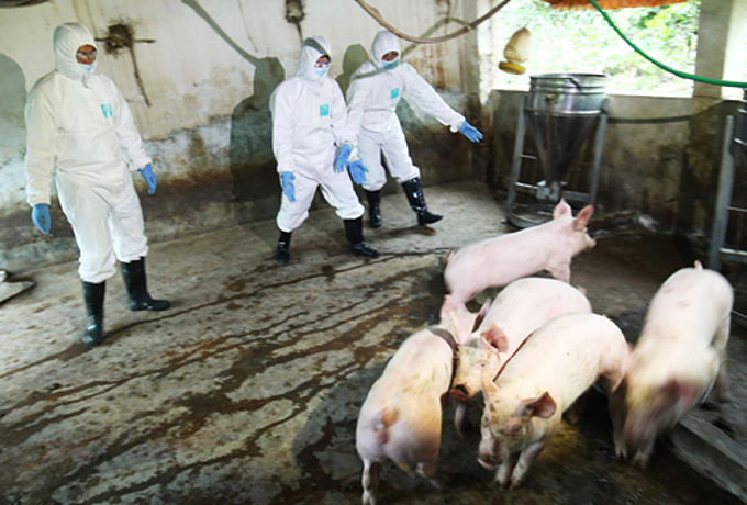 Animal health, provincial officials differ on reasons for swine fever outbreak