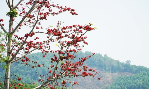 Kapok trees paint the town red on central coast
