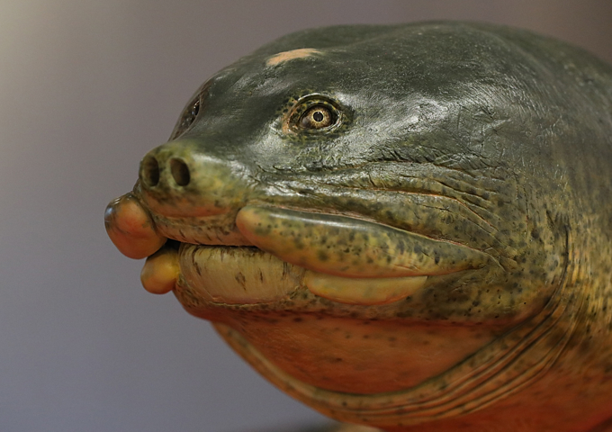 Vietnam's legendary giant turtle plastinated for life - 1