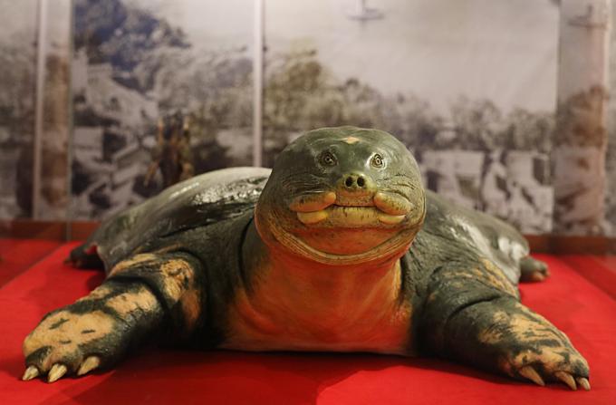 Vietnam's legendary giant turtle plastinated for life - 2