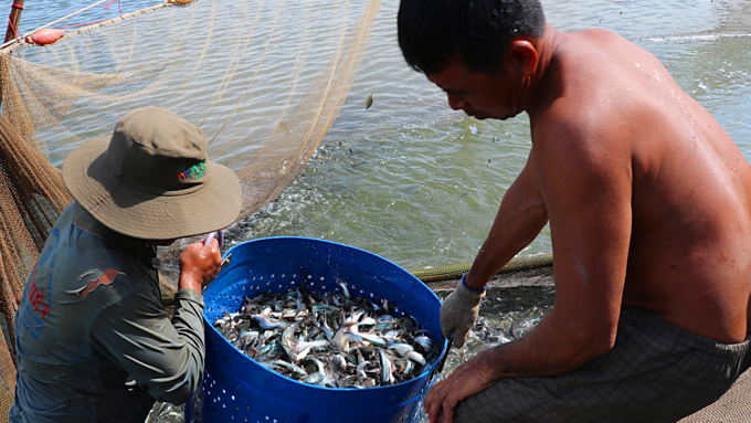 Farmers harvest fish in Vietnams Mekong Delta. Photo by VnExpess/Hoang Nam