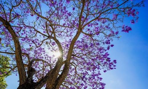 Jacaranda, a South American beauty that adds to Da Lat's charm