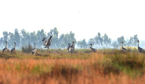 Sarus cranes visit Vietnam early this year