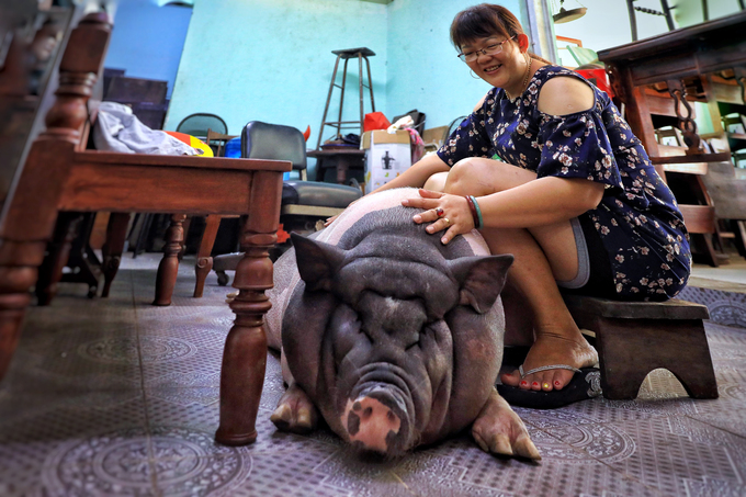 A pig lives like a king in Saigon