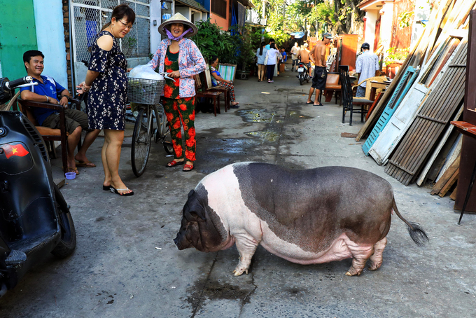 A pig lives like a king in Saigon - 5