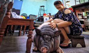 It's not a dog's life for a pig in Saigon