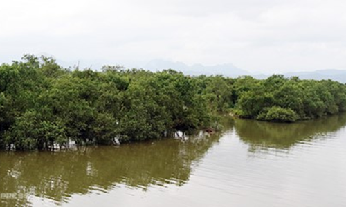 Mangrove forest in central Vietnam a green shield against nature