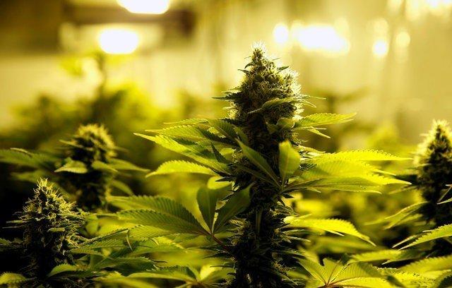 Australia jails four Vietnamese in $2.8 mln cannabis bust