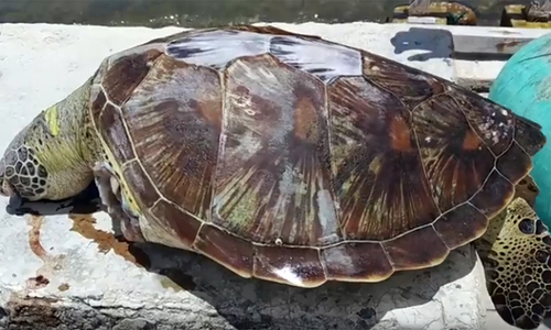 Endangered turtle washes ashore dead with missing limbs