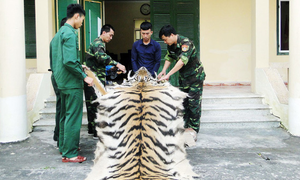 Vietnamese man arrested with tiger skin, bones on China border