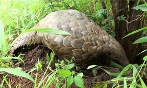 South Africa: The pangolin poachers
