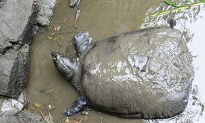Death in China zoo puts rarest turtle on cusp of oblivion