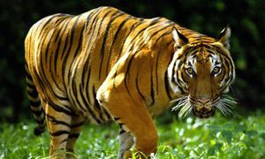 Malaysia arrests Vietnam poachers, seizes tiger, bear parts