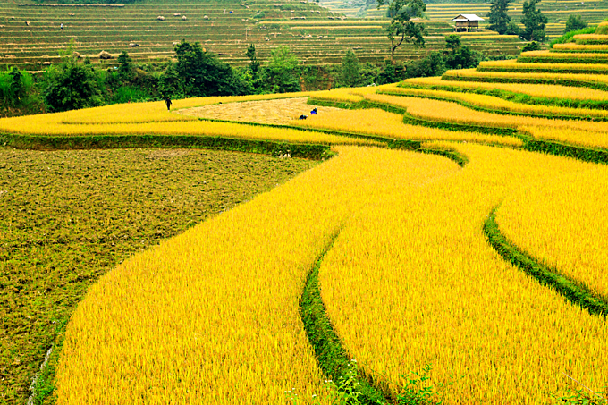 During the harvest season in October, rice paddies turn golden yellow and one of the most incredible sights in northern Vietnam. Photo by Shutterstock/Hong Dung