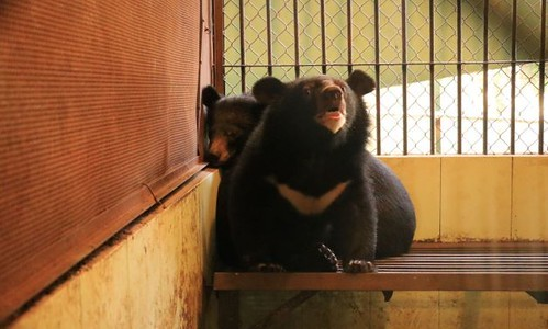 Hanoi circus hands over baby bears after audience complaints