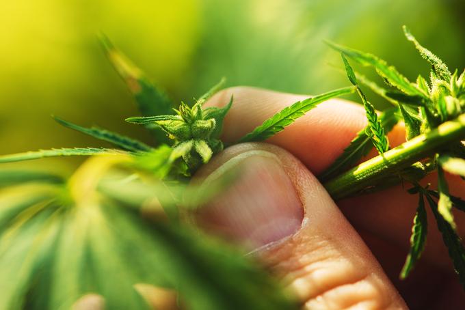 Australia jails two Vietnamese cannabis crop-sitters