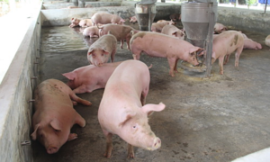 African swine fever spreads to Vietnam's largest pig-farming province