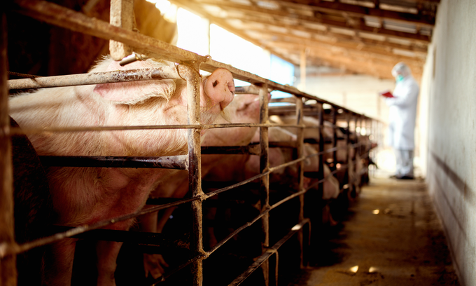 African swine fever spreads to Khanh Hoa, 44 pigs culled