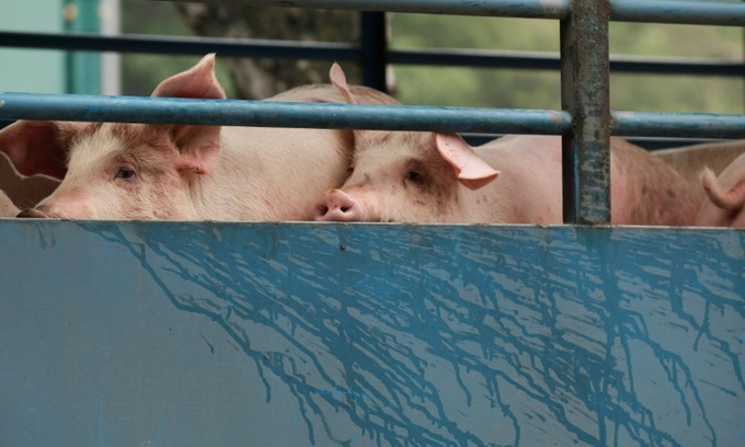 Swine fever sending pork prices higher