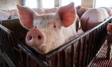 Vietnam culls 1.5 million pigs as African swine fever epidemic rages