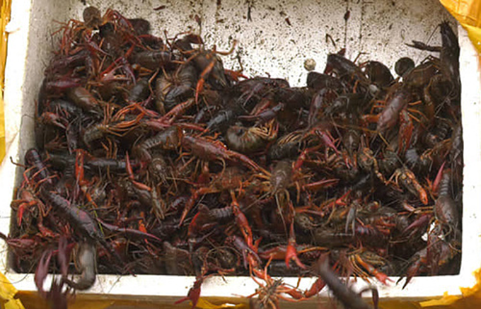 Crawfish seized at a border gate in Lao Cai Province which neighbors China in May 2019. Photo by VnExpress/Trung Dung
