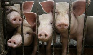 Vietnam culls 1.7 million pigs as more provinces detect African swine fever