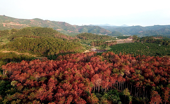 The poisoned pine forest has turned to red, signifying decay which is irremediable. Photo courtesy of Vietnam News Agency
