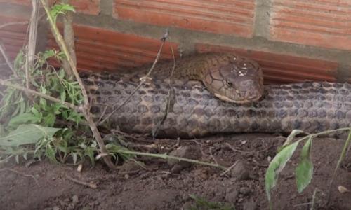 Two endangered king cobras sent to wildlife reserve