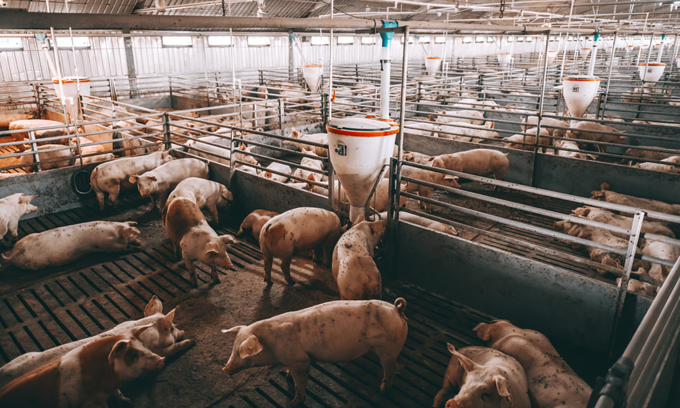 Vietnam culls 2 million pigs as African swine fever threatens large-scale farms