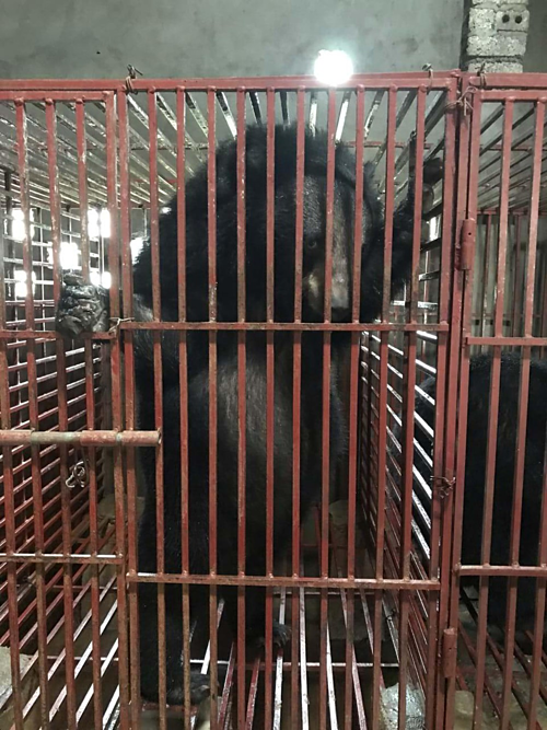 One of the three capitve bears rescued by the Education for Nature - Vietnam (ENV) in Vietnams central province of Nghe An. Photo by ENV