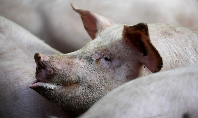 Vietnam PM calls for country to be on a war footing against African swine fever