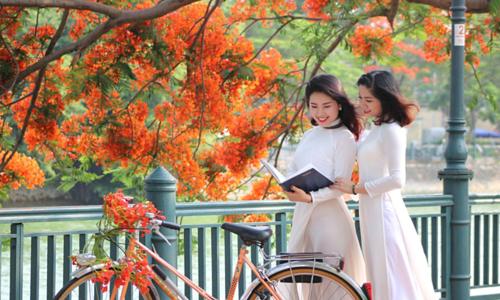 Red blossoms light up northern Vietnam city