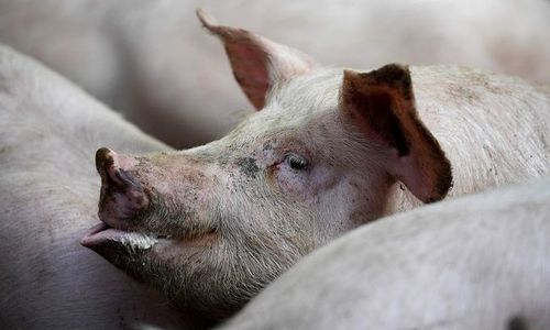 HCMC acts to stop African swine fever outbreak from spreading further